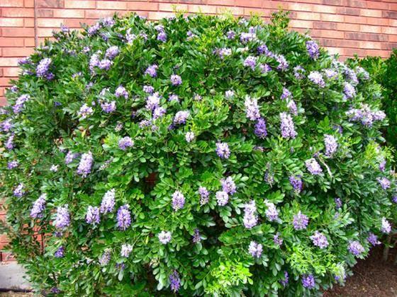Sophora Secundiflora Texas Mountain Laurel Mescal Bean
