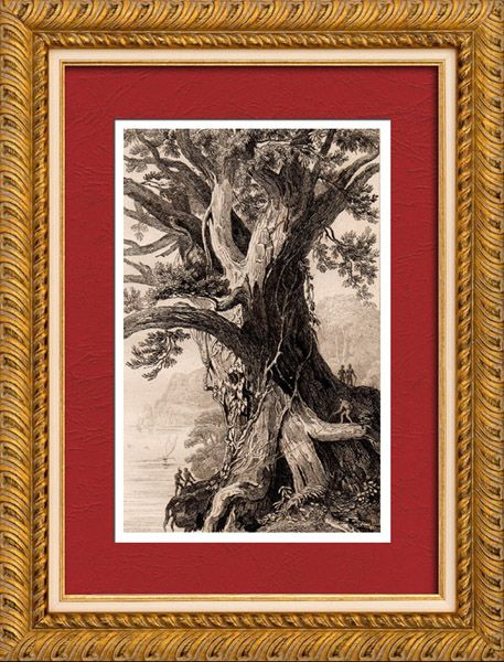 Kingdom of Tonga - Gigantic Tree Original steel engraving drawn by Danvin, engraved by Cholet. 1836