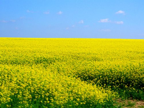 Field Of Yellow Flowers Google Search Yellow Flowers