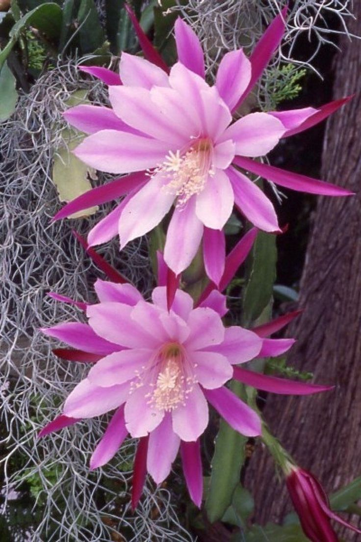 [*- Epiphyllum - Gracias a la hibridación, se encuentran híbridos que producen flores de muy variados colores y de dimensiones muy destacadas, simples o compuestas. A diferencia de los cactus, los Epiphyllum no tienen espinas. Son plantas epífitas, es decir, que en la naturaleza crecen predominantemente sobre los árboles o sobre las rocas, alimentándose del musgo o de la sustancia orgánica en descomposición que logran encontrar y enganchándose a soportes con sus raíces aéreas.]