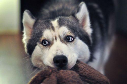 Husky Husky Husky