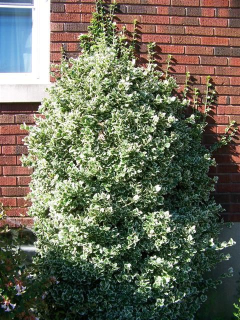 52 Best Euonymus Images On Pinterest Evergreen Shrubs