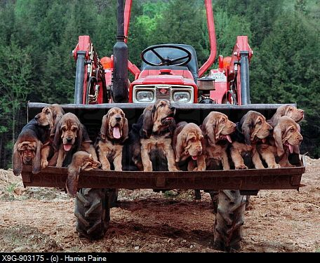 bloodhound puppies | Bloodhound Puppies. X9G-903175 © Harriet Paine