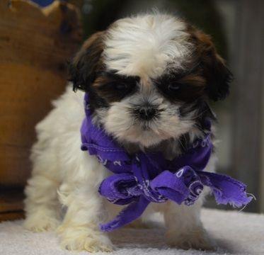 Shih Tzu Puppy For Sale In Tucson Az Adn 66794 On Puppyfinder Com Gender Male Age 9 Weeks Old Puppies For Sale Shih Tzu