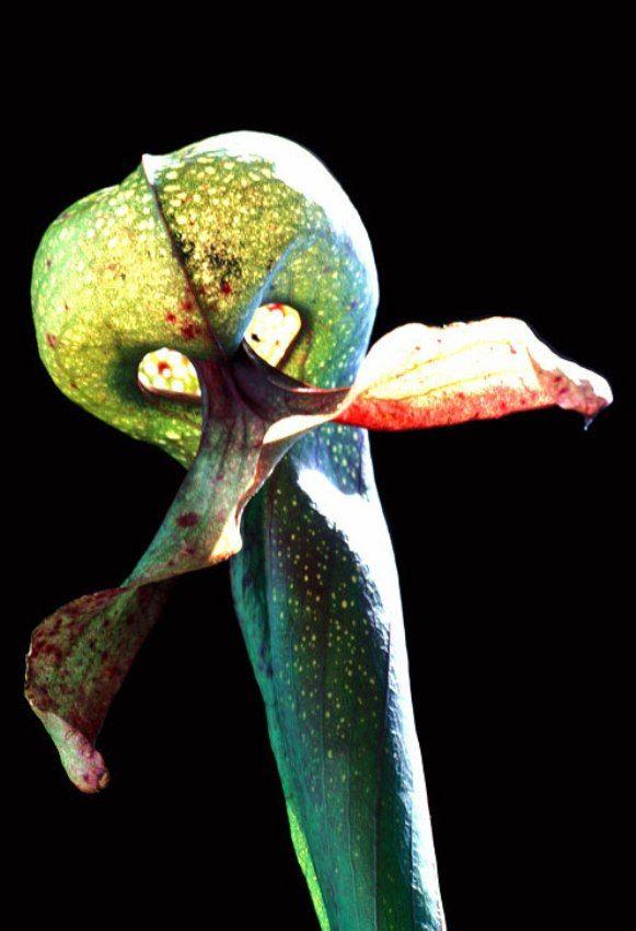 """Darlingtonia cali fornica, la cui """"lingua"""" (la foglia rossastra) somiglia alla lingua biforcuta di un serpente. Nel Nord America, dove cresce, è stata soprannominata cobra lily (pianta cobra)."""