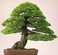 30 Pcs Japanese Pinetree Seeds,Pinus Thunbergii Seeds,Bonsai Seeds