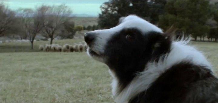 Mi-guáu-coles: El perro ovejero y el dron ladrador