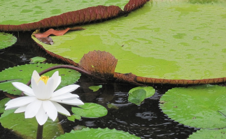 The National Flower of Guyana, the Victoria Amazonica is