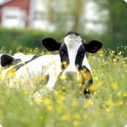 Cows in the meadow eating buttercups!