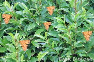 Orange moths on green leaves - easily spotted and eaten by predators http://www.basicbiology.net/biology-101/evolution/