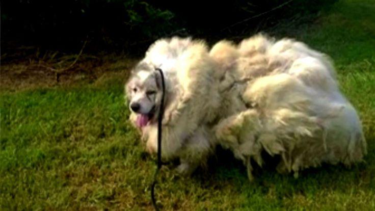 Cãozinho encontrado após 6 anos! VEJA! Cachorro perde 16 quilos de pelos...