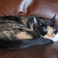 #dogalize Gatto tartarugato, tutte le sue caratteristiche #dogs #cats #pets