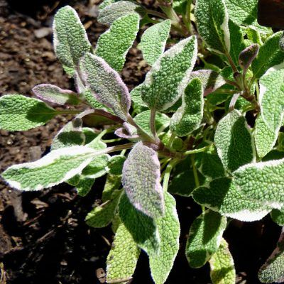 Tricolor Sage Herb: Tips On Growing Tricolor Sage Plants -  Many gardeners simply stick to green sage, but an interesting alternative that's gaining some real traction is tricolor sage. Tricolor sage plants do double duty as a culinary herb and as an ornamental. Learn more about growing tricolor sage in this article.