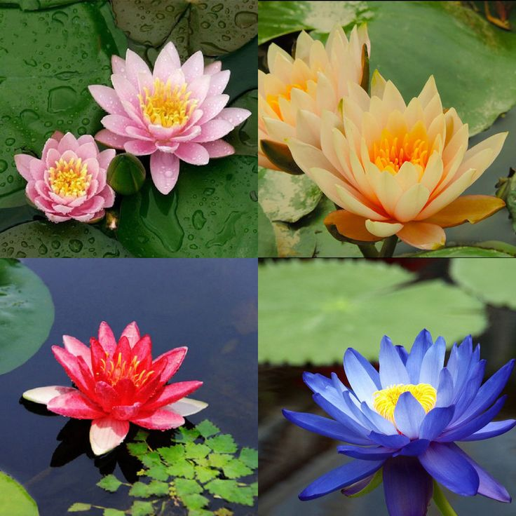 10 seeds 4 color mix Bowl Lotus Flower Seed water Aquatic Plants Nelumbo