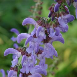 Buy Salvia miltiorrhiza
