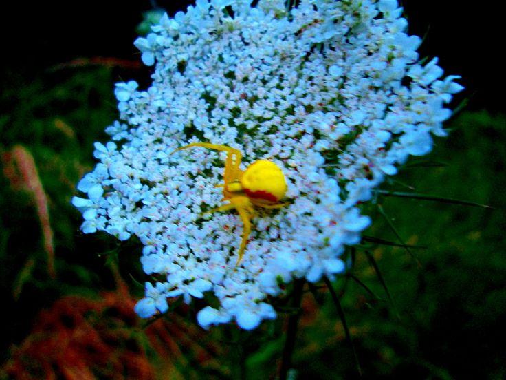 https://flic.kr/p/K7KYia   araignée jaune