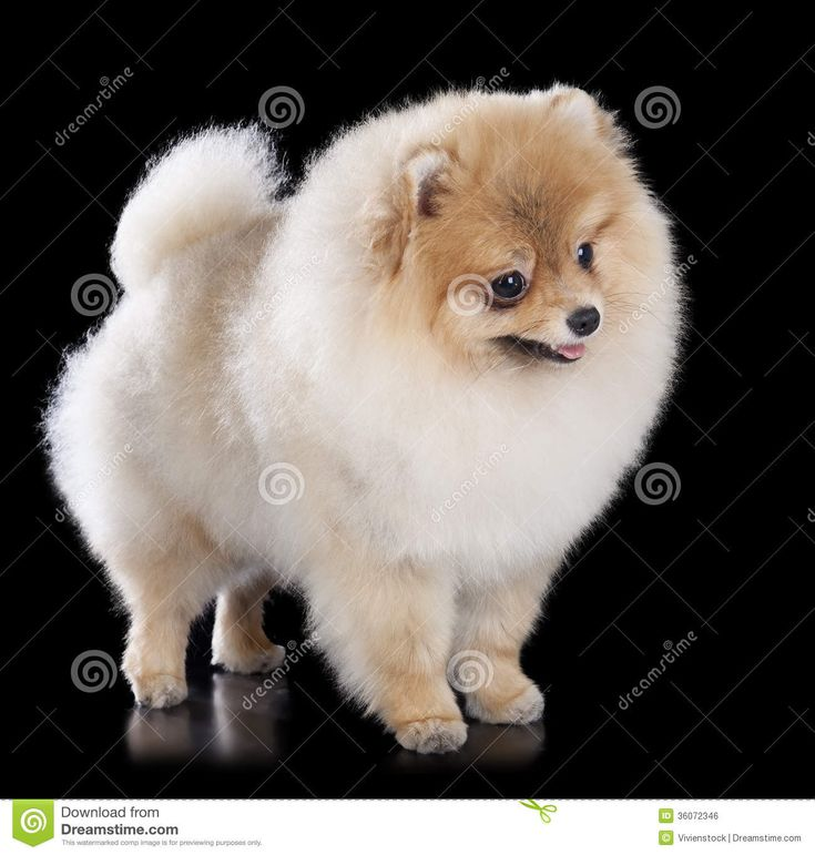 Black And Tan Pomeranian Teddy Bear Cut Bigking Keywords And Pictures