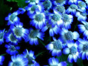 Flores de color blanco y azul