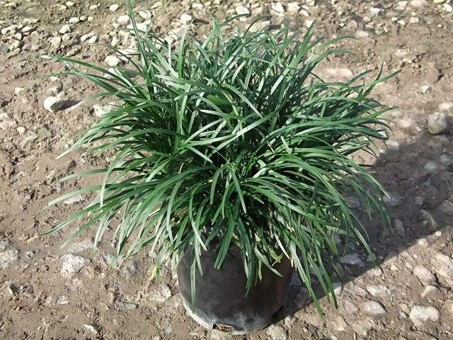 Ohiopogon japonicus - Mondo Grass (1 Gal. Container stock) Evergreen, Light Lavender Flowers