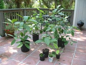 Kratom Plant in your garden