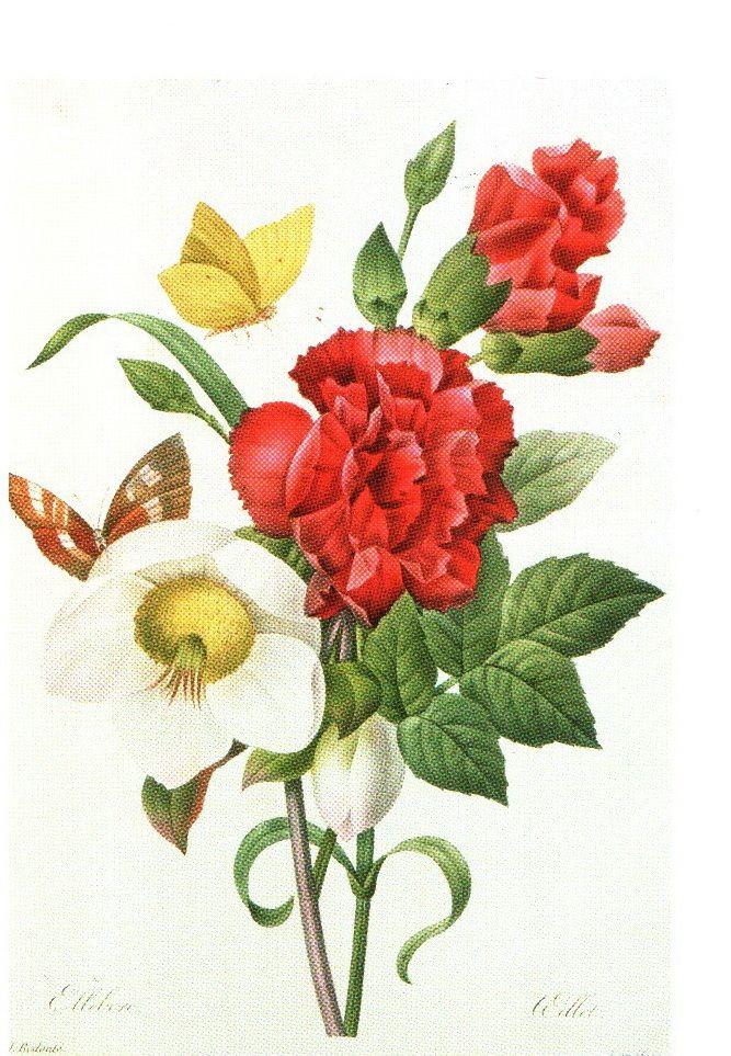 Ботанические иллюстрации французского живописца Пьер-Жозе́фа Редуте́ Морозник, Морозник черный и красная гвоздика с бабочками