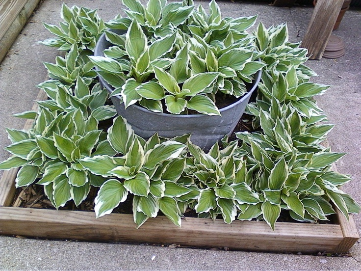 Hostas that were moved to a new location so they won't be in full sun.  So far so good  5-7-2013