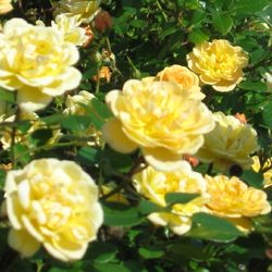 'Sundance Kid' StoryBook Rose -- The newest of the StoryBook varieties. These sunny little blossoms begin as coral buds, then open as soft yellow with a faint coral-blush overlay. The mature blooms are soft yellow and hold their color even in hot weather. Sundance Kid has proven to be iron clad resistant to disease. Gorgeous in pots on porches and patios -- like having your own personal sunshine!: Storybook Rose, Color, Coral Buds, Porch And Patio