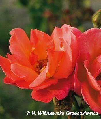 Róża wielkokwiatowa 'Trojka' Rosa 'Trojka'  Kwiaty są pomarańczowołososiowe, bardzo duże - ok. 13 cm średnicy, pełne i pachnące. Liście s...