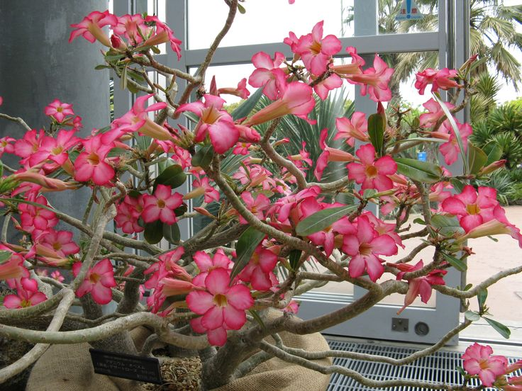 http://upload.wikimedia.org/wikipedia/commons/5/5a/Adenium_obesum4.jpg