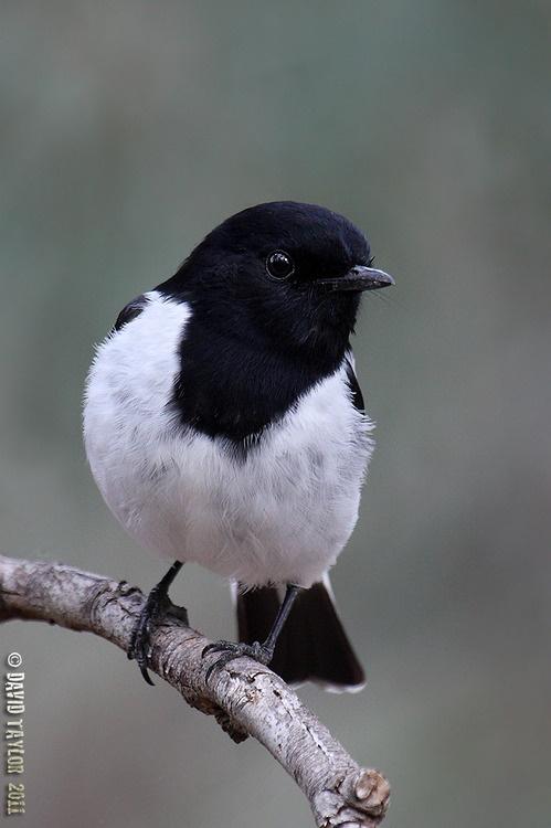 The Hooded Robin - Melanodryas cucullata; is a small passerine bird native to Australia.