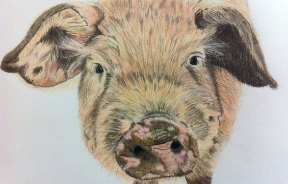 Little Rasher - Coloured Pencil Drawing