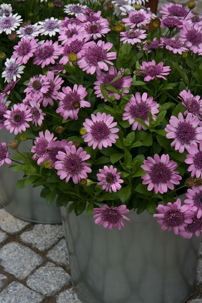 113 best images about osteospermum on pinterest copper fall plants and plants. Black Bedroom Furniture Sets. Home Design Ideas
