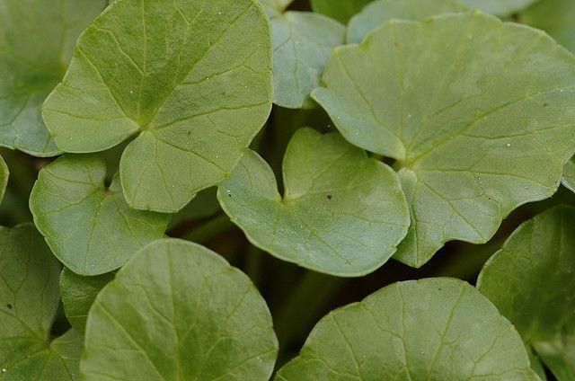"""Speenkruid - Ranunculus ficaria (Onze groenten en onze wilde vruchten bij de keuken aangepast - A. Bracke 1941) """"Men gebruikt alleen het heel jonge speenkruid, zelfs vóór de vorming van de bloemenknoppen: later zouden ze min of meer vergiftig kunnen zijn."""" """"...gewoonlijk genuttigd onder de vorm van sla, gemengd met hopscheuten, of andere 'wilde' planten of nog met de overbijfsels van witloof, of nog met stukjes witten selder, alles met citroensap besproeid."""