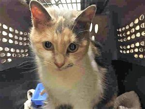 Super Urgent Manhattan - HOPE #A1101079 - IS 4  YRS OLD, WAS PURRING DURING INTAKE - SWEET CAT NEEDS A HOME!  FEMALE CALICO DSH MIX, STRAY - NO HOLD INTAKE 01/05/17 DUE OUT 01/10/17 - ALLOWED HANDLING, TENSE AND NERVOUS AT FIRST BUT PURRING DURING HANDLING, EVEN FOR BLOOD DRAW