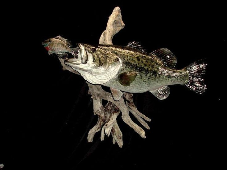17 best images about fishing taxidermy on pinterest dan for Blue bass fish