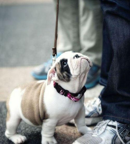 puppy stare
