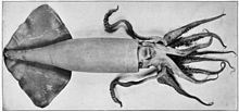 Humboldt squid - Wikipedia, the free encyclopedia