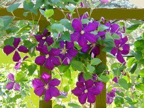 Marvelous High Altitude Gardening: Clematis Flowering Vines
