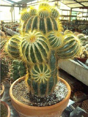 cactus ornamentales   Cuidar de tus plantas es facilisimo.com