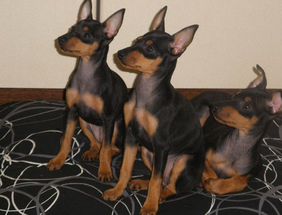 ENGLISH TOY TERRIER The English Toy Terrier dates back to 19th Century England. Graham and team will be available at the show to discuss the breed and take along your own toy terrier as we are sure he will love to meet your furry friends.