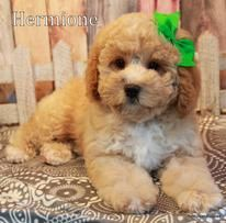 Cavapoo and Cavapoochon puppies for sale from Petit Jean Puppies in Oppelo Arkansas. We specialize in Red ! Non shed teddy bears! Health tested parents. 3 yr health guarantee.