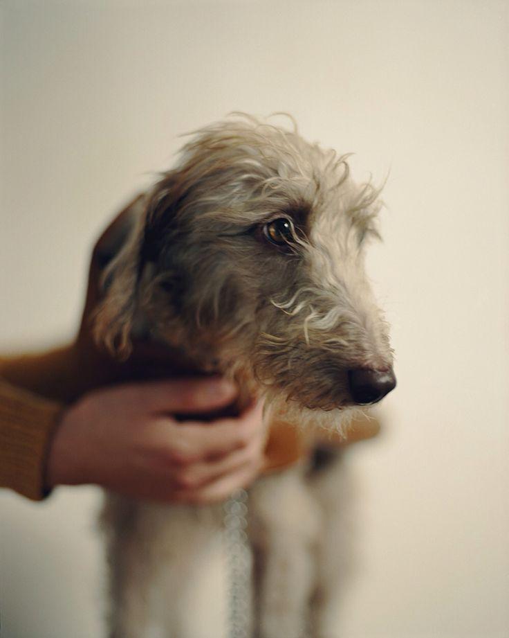 Radish, 2 years 6 months, Bedlington Lurcher Photography by Samuel Bradley