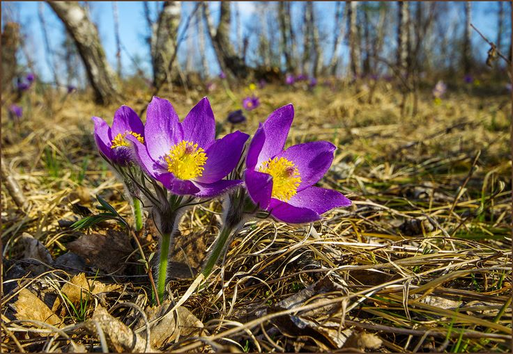 картинки первоцветы сибири двух