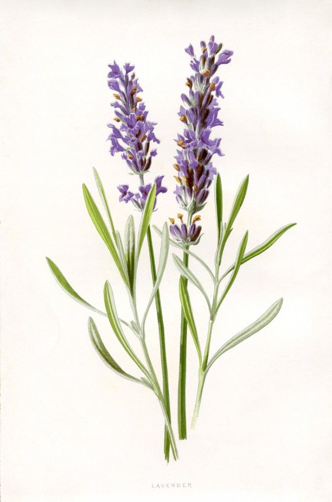 """Beautiful Lavender Botanical Printable"" in 50 Favorite Free Vintage Flower Images - The Graphics Fairy"