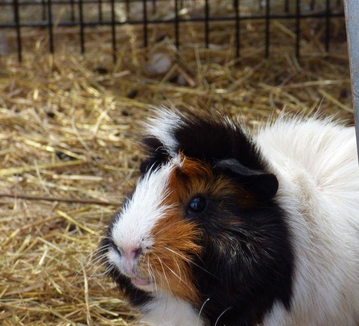 Coyotte cochon d'inde mâle péruvien x