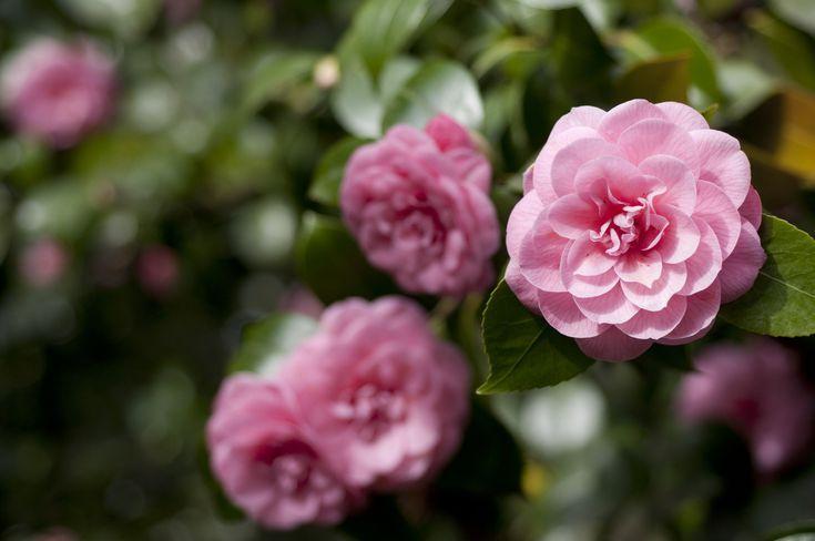 What Are Flowers Allergy Sufferers Can Enjoy Flowering Shrubs Dye Flowers Shrubs