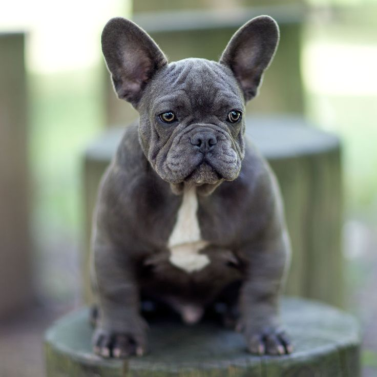 french bulldog for sale cheap 17 best ideas about french bulldog for sale on pinterest 2816