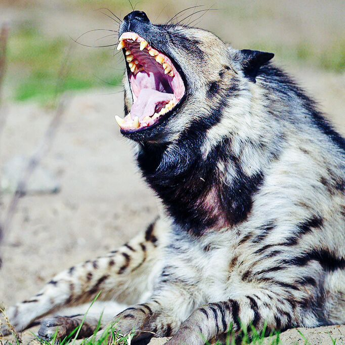The jaws of striped hyenas are powerful enough to crush bones, hooves, teeth, and horns—the parts of carcasses that other animals leave behind. They also consume quantities of vegetable matter and are fond of agricultural produce, particularly dates, melons, and other fruits. Thus, they may cause damage to crops and flocks around villages near where they live.