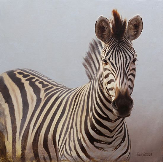 Zebra repose, by Peter Stewart, oil on Belgium linen, Size 20 x 20 inches