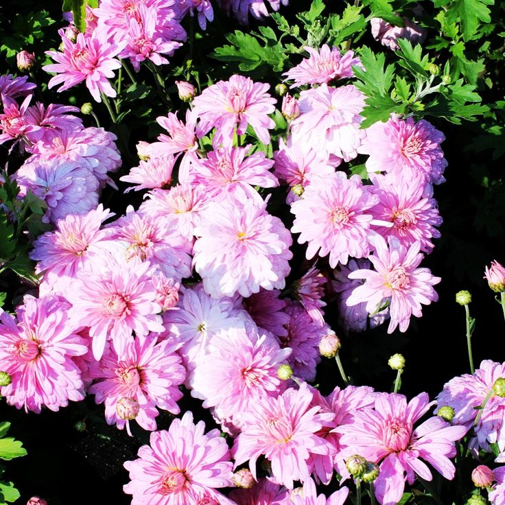 Chrysanthemum Morifolium Prairie Lavender Mum